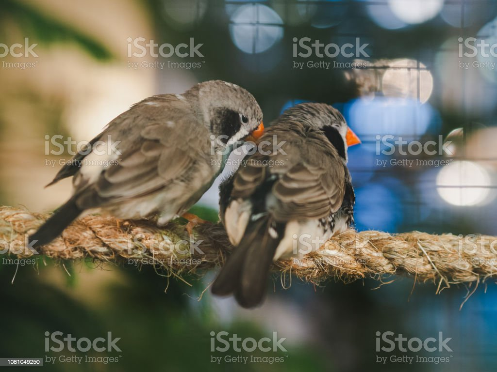 Two little birds sitting on the rope on bokeh background. Animal,...