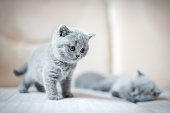 Two little grey cats, one is sleeping in the background, the other one is standing. British shorthair kittens.