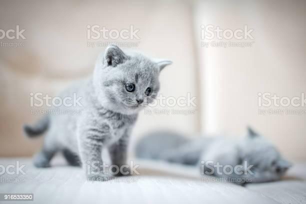 Two little british shortcut kittens picture id916533350?b=1&k=6&m=916533350&s=612x612&h=aludjpjbgavvttqyk3r5tzdhtq3n0gq amqaizvq5vg=