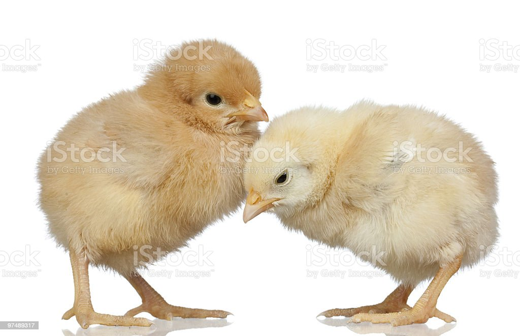 Two little chickens royalty-free stock photo