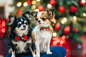 two little chihuahua dogs in bowtie sitting on padded stool in christmas decor