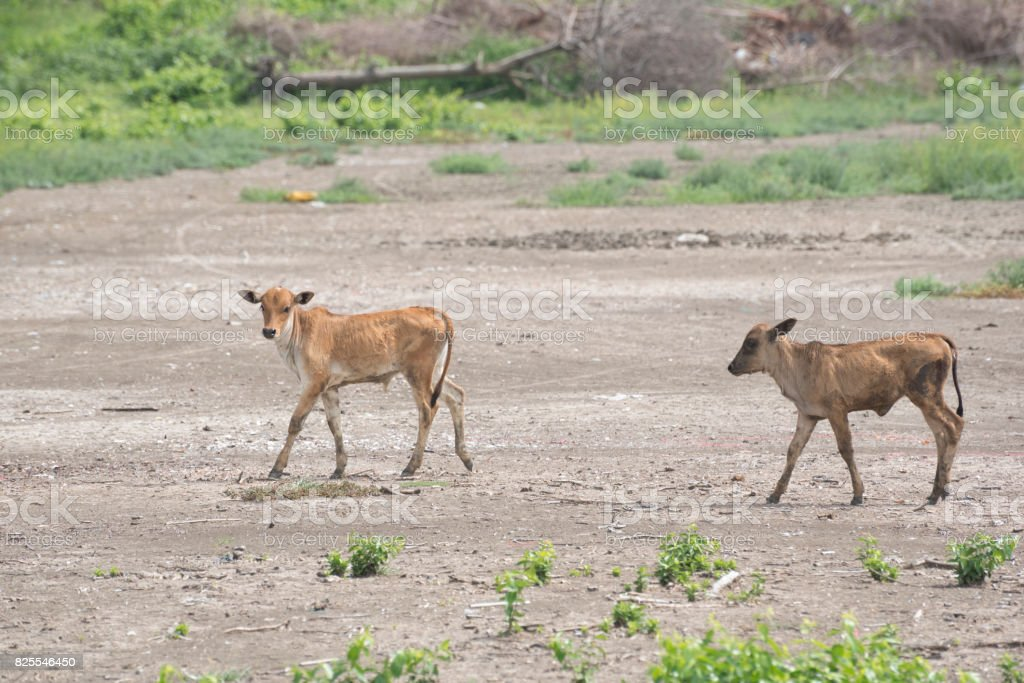 Two little cows in the field of countryside