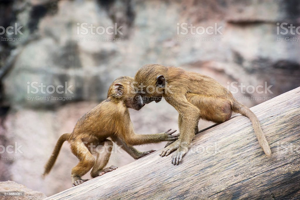Two little cubs of Guinea baboon are playing stock photo