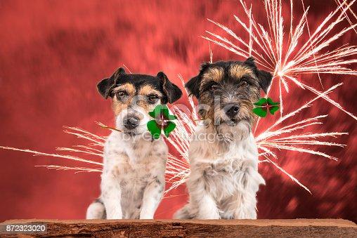istock two little cute firework dogs - jack russell terrier 872323020