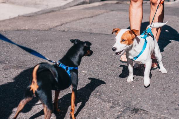 Two little dogs meet on the street picture id1126379288?b=1&k=6&m=1126379288&s=612x612&w=0&h=ete9nqpqs6nq9eyh9fdnkcnlxbtkrdpg2wprib2jdvm=