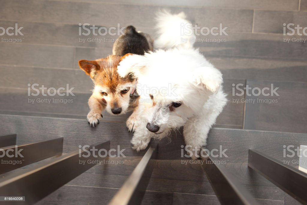 two little dogs on hind legs stock photo