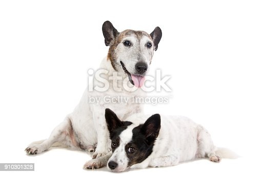 885056264 istock photo Two Little Dogs 910301328