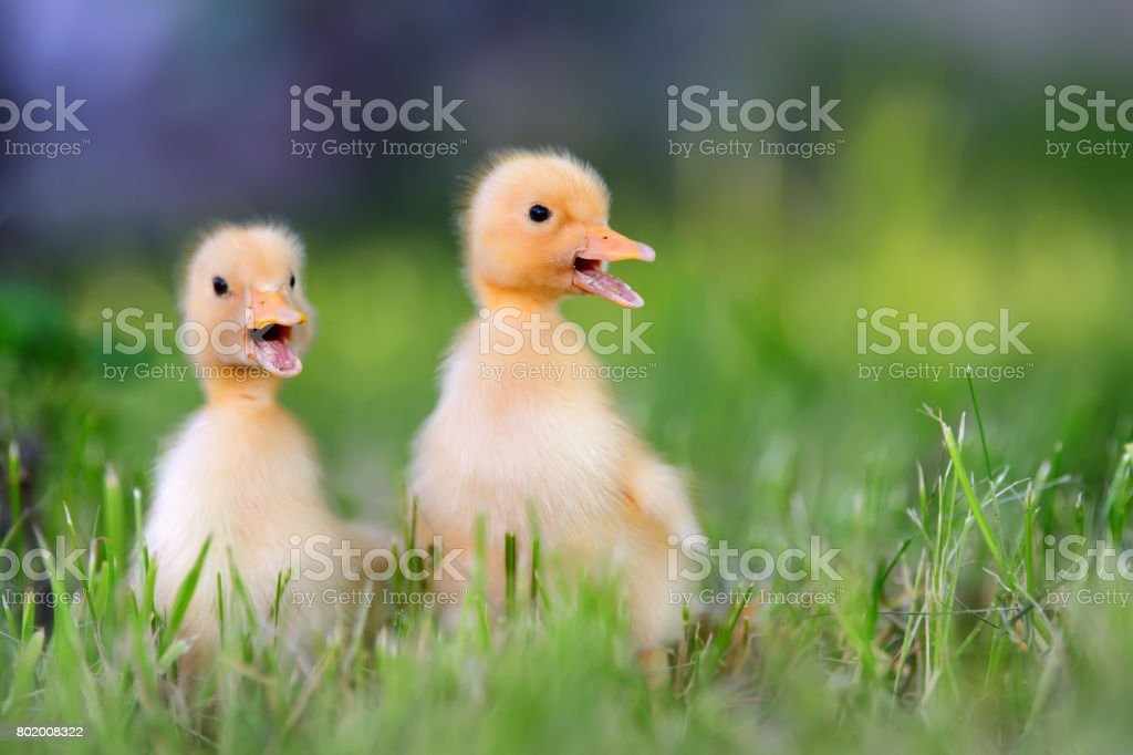 Two little duckling on green grass stock photo