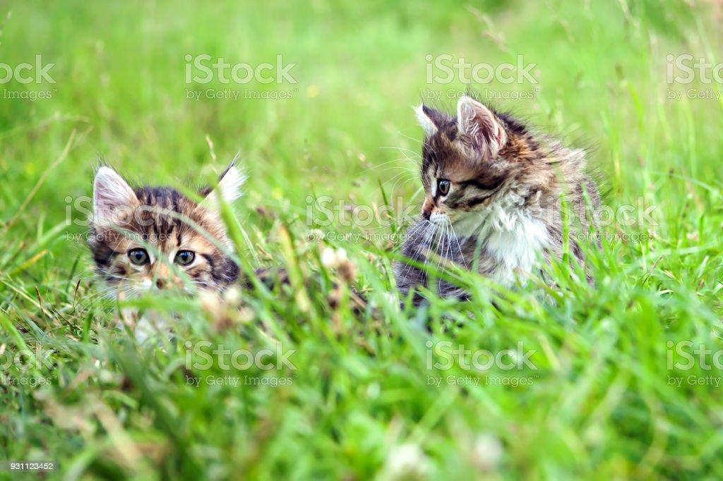 Bahar çayırda oynayan iki küçük tüylü kedi yavrusu - Royalty-free Arkadaşlık Stok görsel