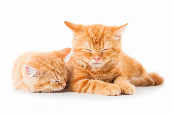 Two little ginger british shorthair cats over white background picture id508647575?b=1&k=6&m=508647575&s=612x612&w=0&h=vhaqr76lf82tyrcxaykjcocca62calf74nordsy5nm4=