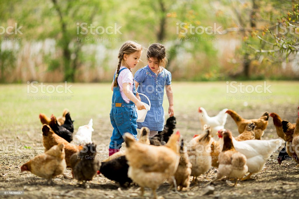 Two little girls feeding chickens stock photo