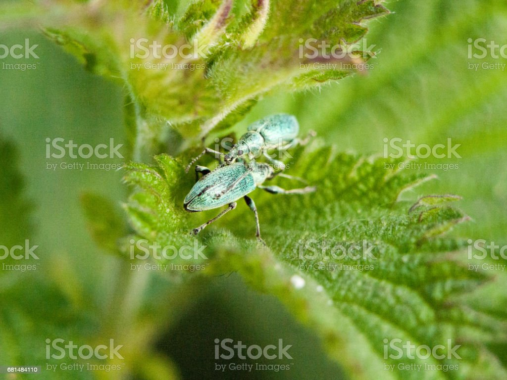 two little green bugs on top of each other in clear crisp detail outside in the forest meadow resting on a leaf in late afternoon spring insect royalty-free stock photo