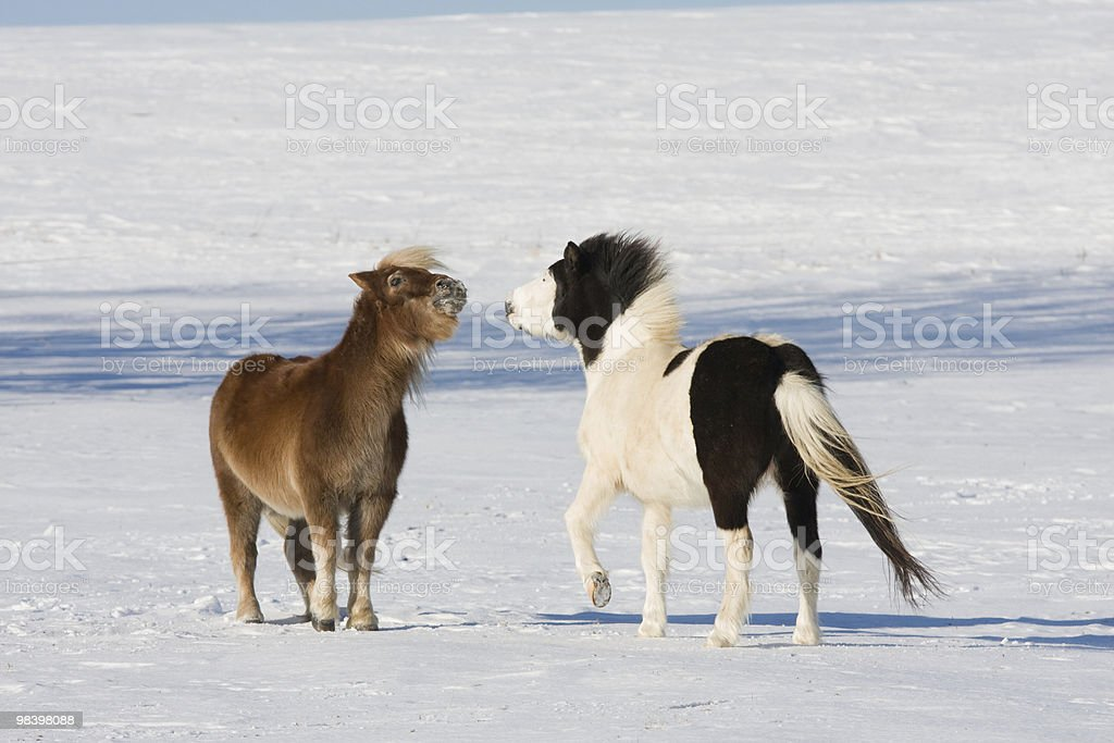 Two little horses on snowy meadow royalty-free stock photo