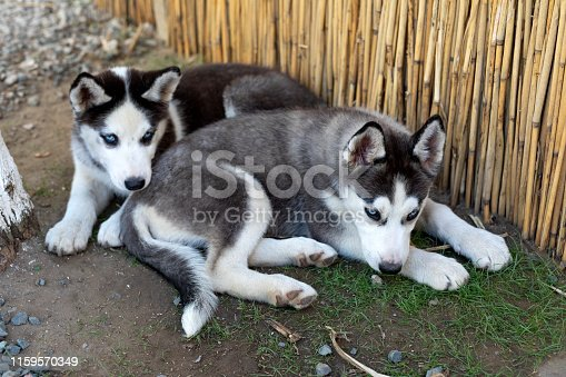 Two little husky dogs playing in the backyard