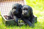 Two little labrador retriever puppies are lying in an old suitcase on the grass in the spring garden