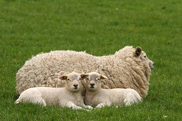zwei kleinen lämmer leg dich neben ihrer mutter - weißes lamm stock-fotos und bilder