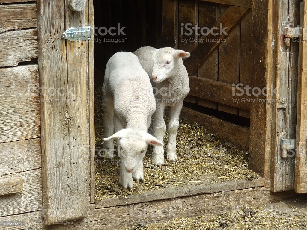 Two little lambs staying in the door in farm royalty-free stock photo