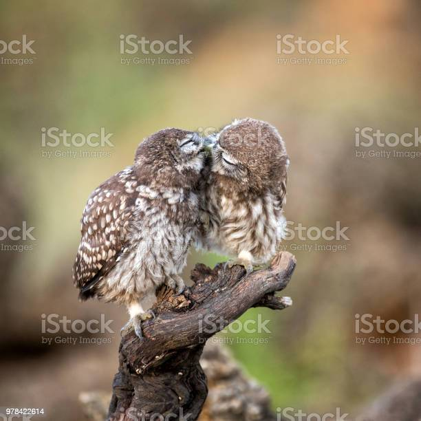 Two little owls sitting on a stick pressed against each other picture id978422614?b=1&k=6&m=978422614&s=612x612&h= tstm1ox0eaw6odmbjs2vpk0re1c3kdr2n8tudsfwag=