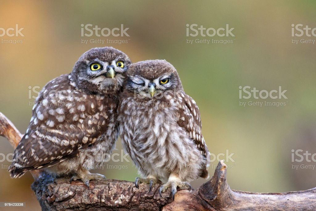 Two little owls (Athene noctua) sitting on a stick pressed against each other. Two little owls (Athene noctua) sitting on a stick pressed against each other on a beautiful background. Animal Stock Photo