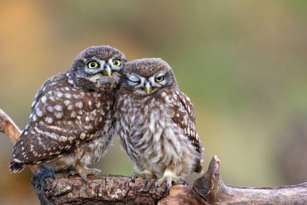 Two little owls (Athene noctua) sitting on a stick pressed against each other. stock photo