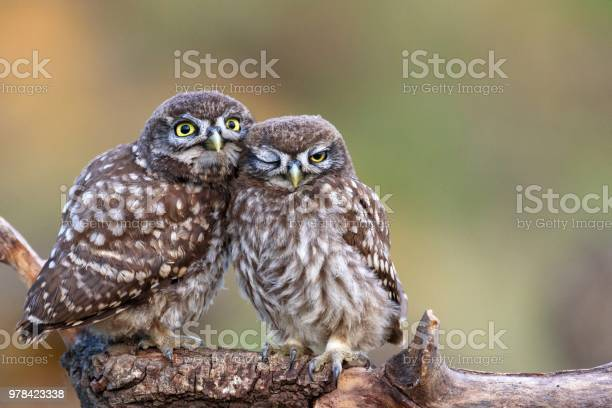 Two Little Owls Sitting On A Stick Pressed Against Each Other Stock Photo - Download Image Now