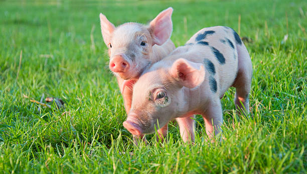 Two little pigs stock photo