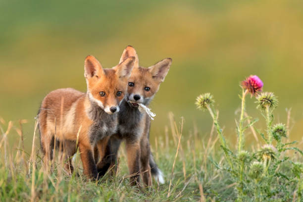 Two Little Red Fox near his hole stock photo