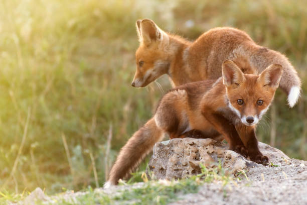 two little red fox near his hole - fox stock photos and pictures