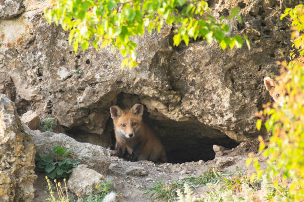 Two Little Red Fox near his hole. Vulpes vulpes stock photo