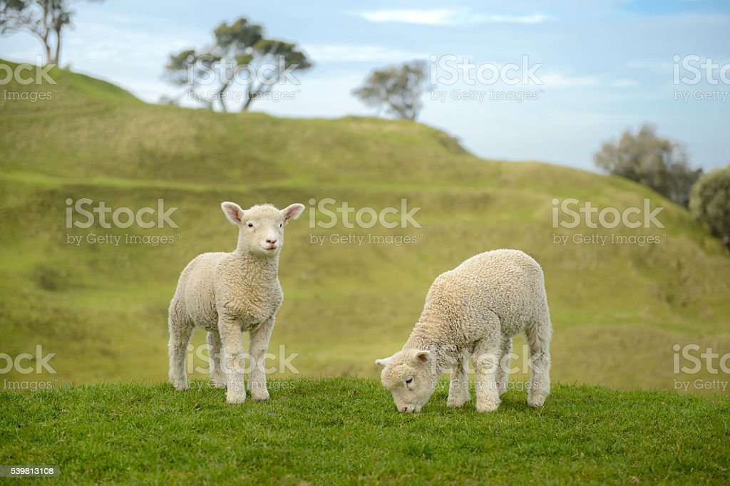 Two Little Sheep Eating Grass in Auckland, New Zealand stock photo