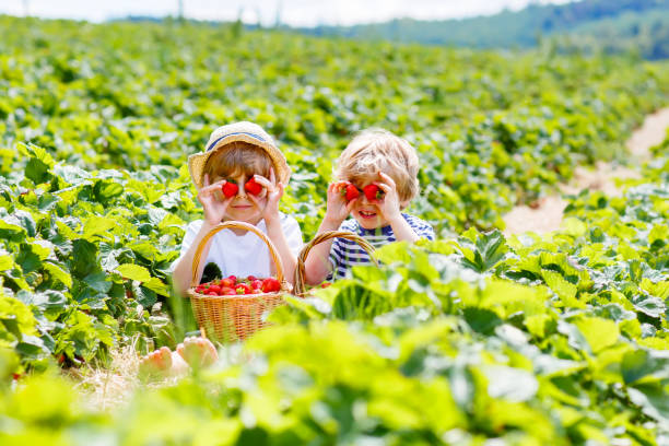 two little sibling boys on strawberry farm in summer - picking stock photos and pictures