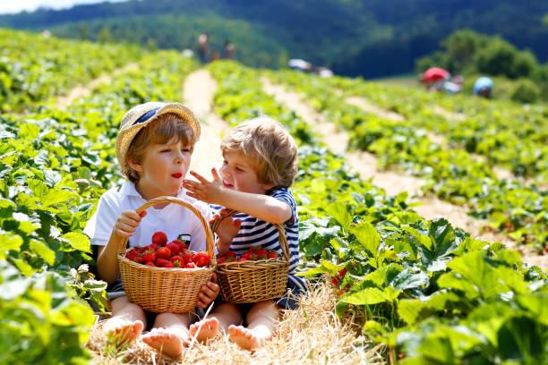 two little sibling boys on strawberry farm in summer - picking fruit imagens e fotografias de stock
