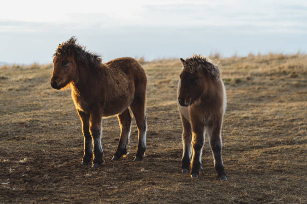 Two little small iceland horses stock photo