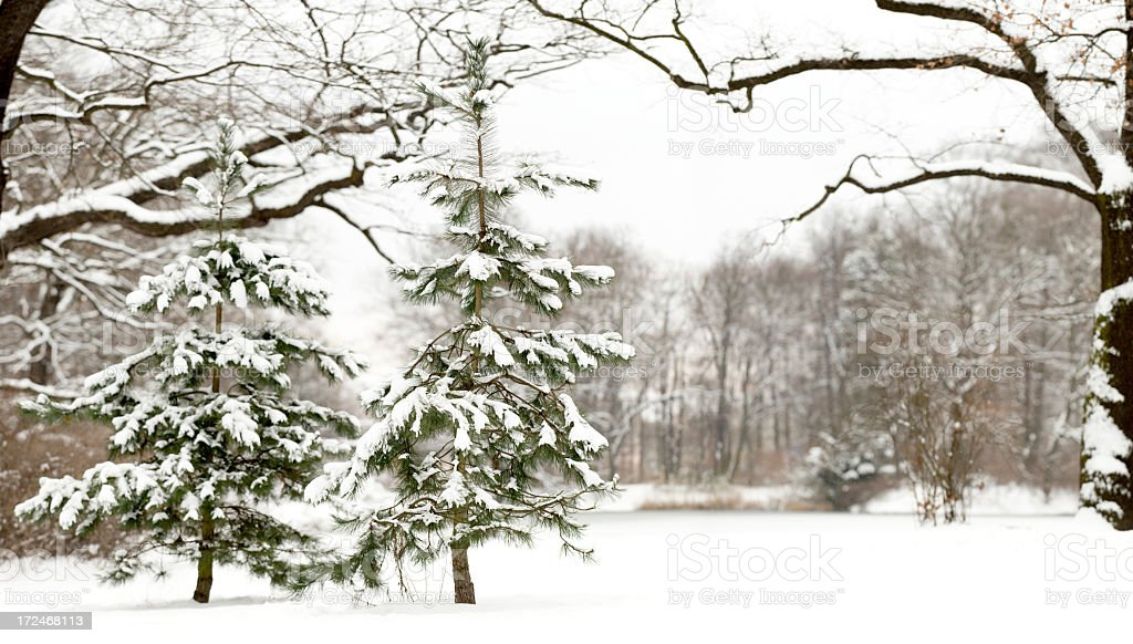 Two little, snow covered Scots Pines (Pinus sylvestris). royalty-free stock photo