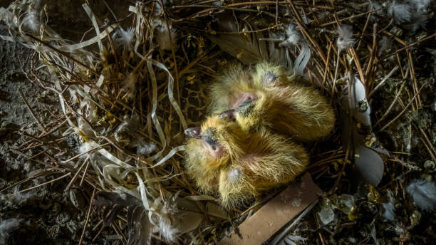 Two little squabs, pigeon chicks with yellow plumage in the bird nest stock photo