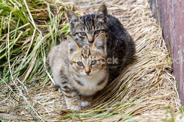 Two little striped scared homeless kittens sitting near the wall of picture id1163326241?b=1&k=6&m=1163326241&s=612x612&h=cov2xeppgzrqaljxqauaedgbhzpimeibspsuqcbmk5y=