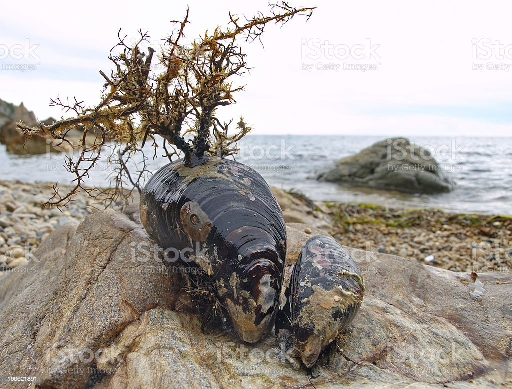 Two live mussels royalty-free stock photo