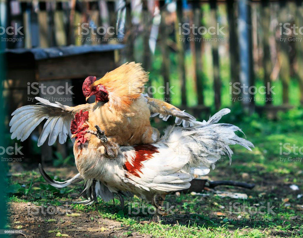 Funny Cock Pics two lively cock fight in the back yard of the farm funny