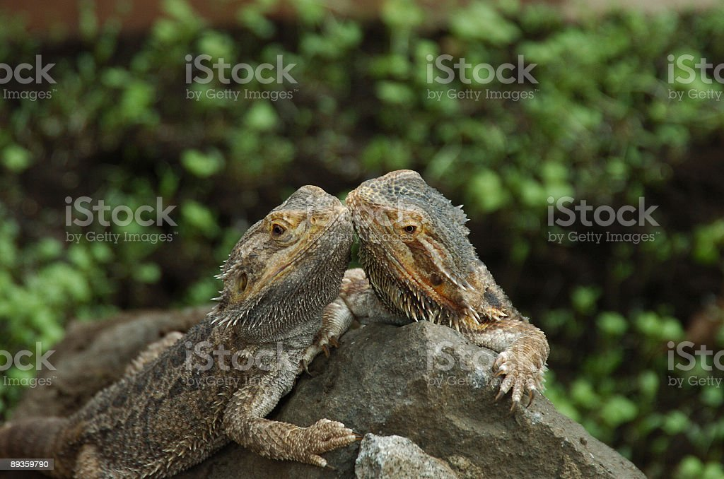 two lizards royalty free stockfoto