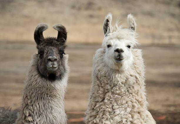 zwei llamas olmos in feld mit gemeiner wolliger mäntel - lama kamelartige stock-fotos und bilder