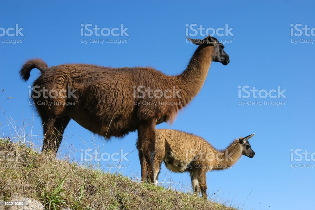 Two llamas look over to Macchi Picchu against a blue sky stock photo