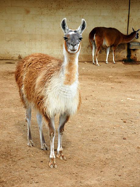 Zwei llamas Olmos – Foto