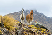 istock Two llamas standing on a ridge in front of a mountain. 1197227234