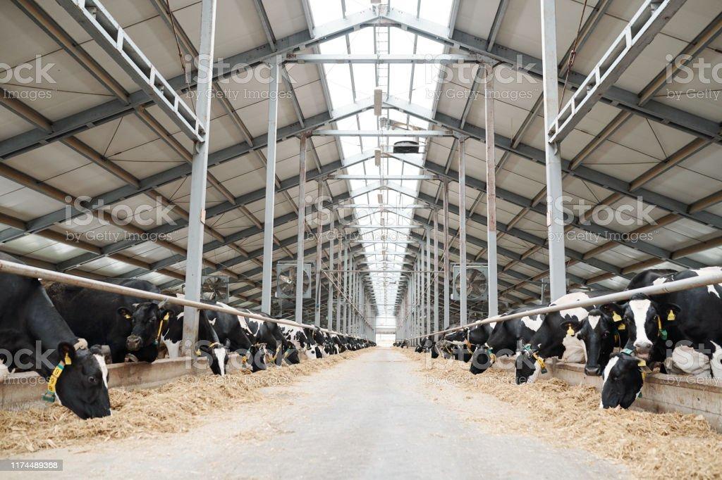 Zwei lange Reihen von Vieh essen Heu in großen zeitgenössischen Bauernhaus - Lizenzfrei Agrarbetrieb Stock-Foto