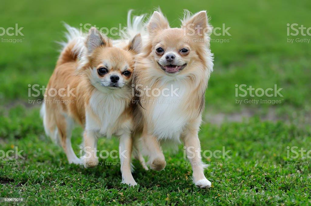 Zwei Langhaarchihuahua Hund Stockfoto Und Mehr Bilder Von Bildhintergrund Istock