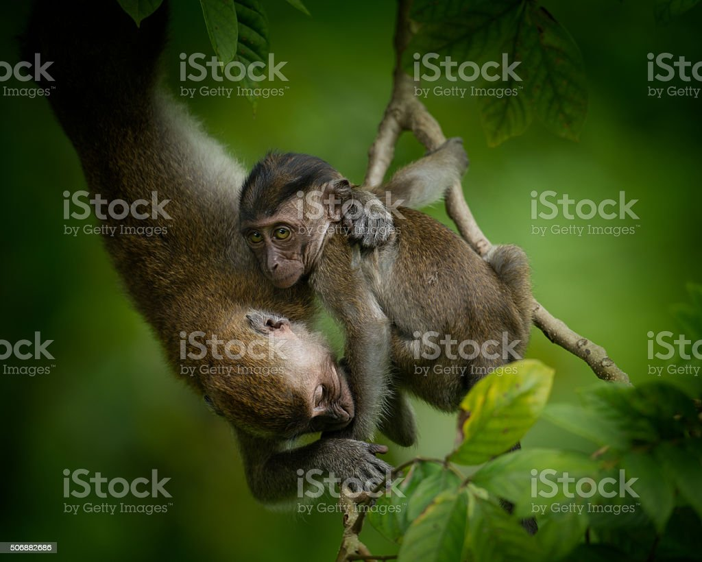 Two long-tailed macaques fighting in a tree stock photo