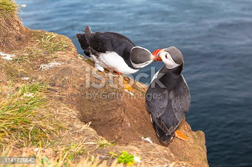 istock two love puffin birds kissing against sea in Iceland 1141726642