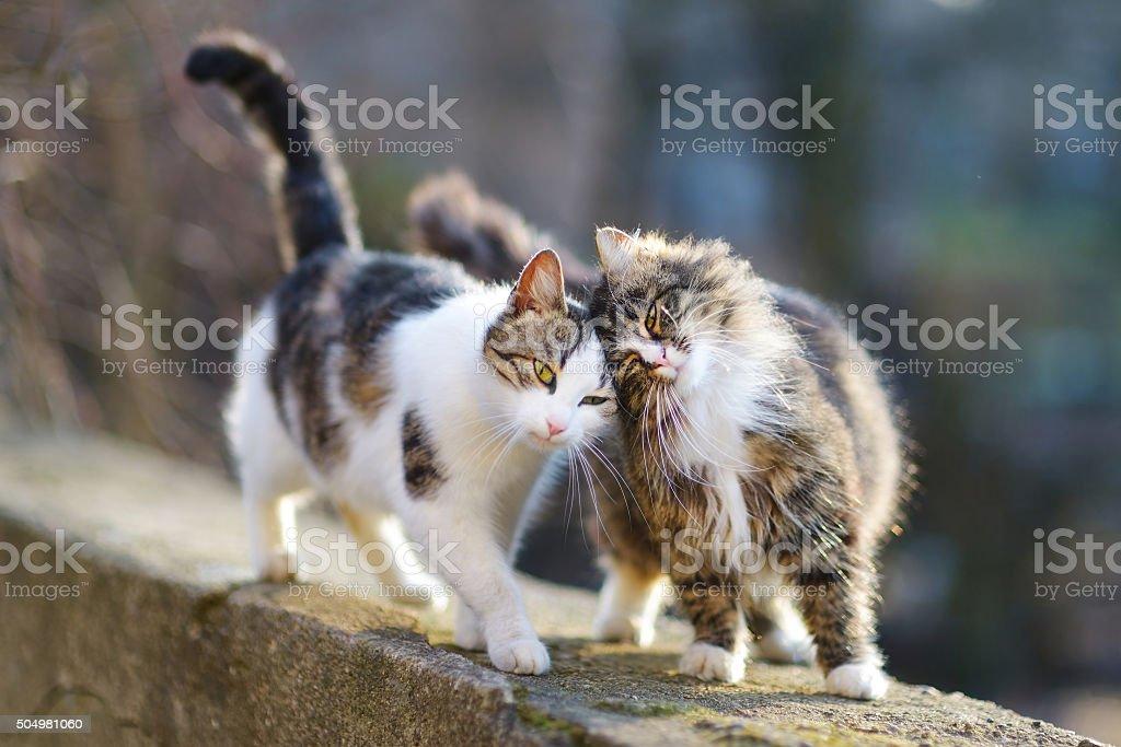 Dos hermosos gatos en resorte - foto de stock