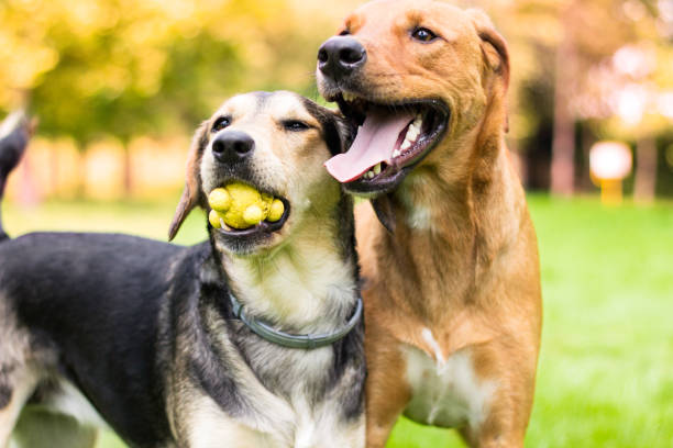 Two lovely dog portrait in the public park stock photo