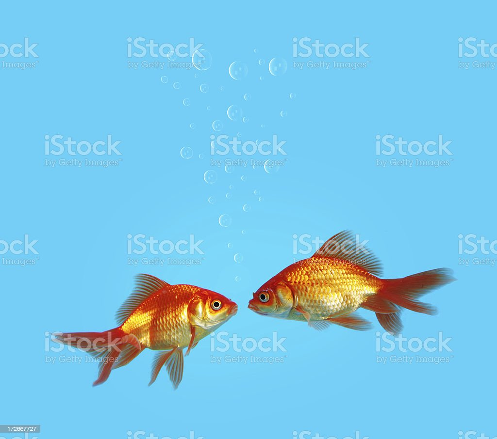Two lovely goldfishes royalty-free stock photo